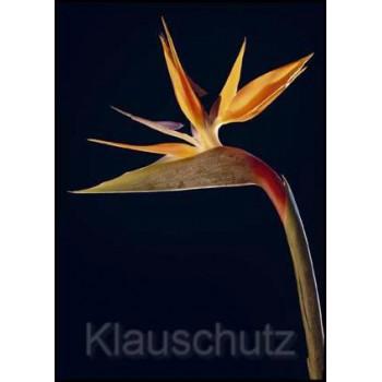 Blumen Postkarte Strelizie