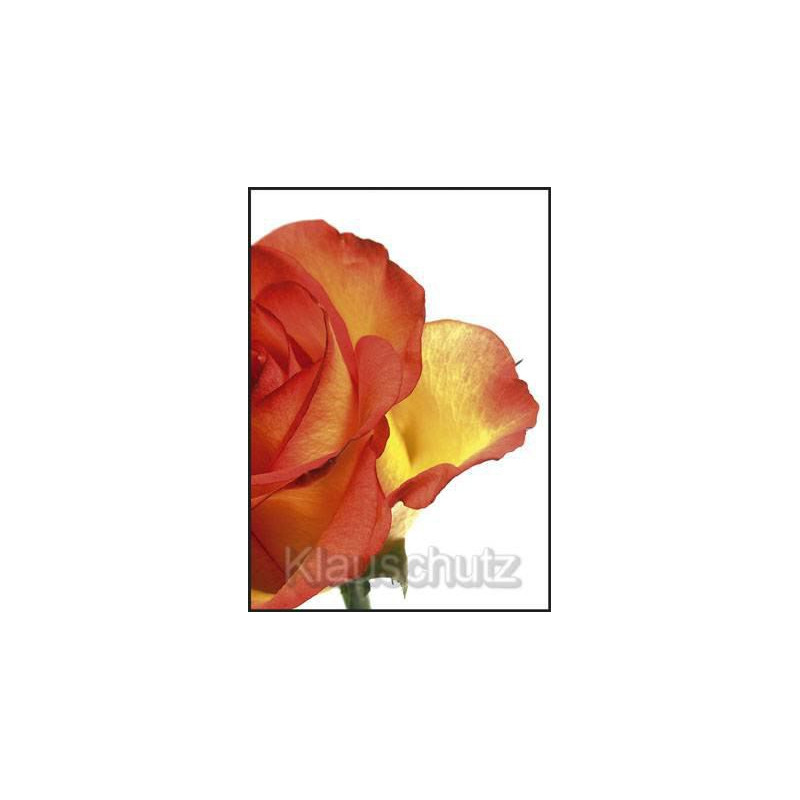 Postkarte Blumen - Rose orange