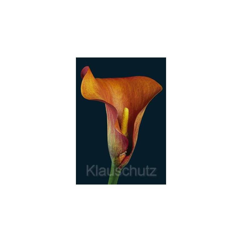 Calla | Postkarten Blumen