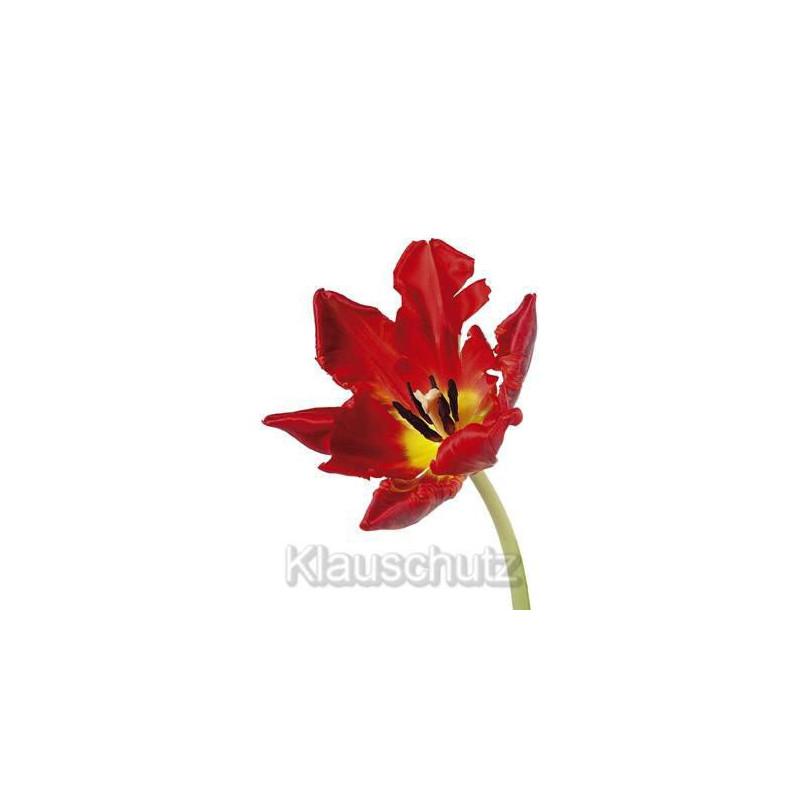 Blumen Postkarte Tulpe rot