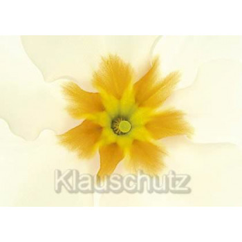Postkartenparadies Blumen Postkarte | Primel