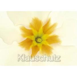 Blumen Postkarten | Primel