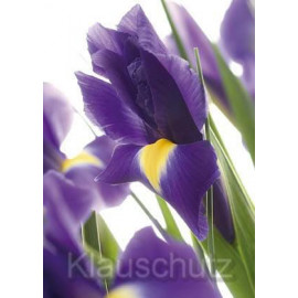 Iris - Postkartenparadies Postkarte Blumen