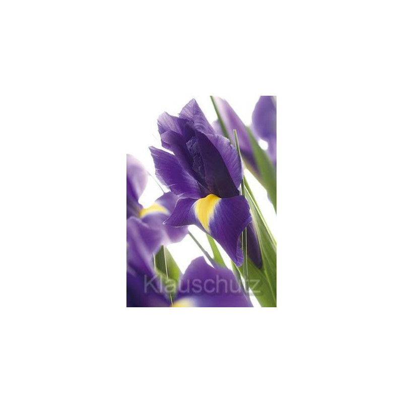 Iris - Postkarten Blumen