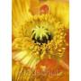 Mohn Nahaufnahme   Blumenkarten Postkarten
