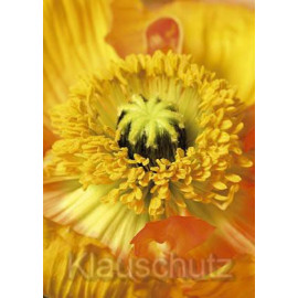 Mohn Nahaufnahme   Blumenkarten Postkartenparadies Postkarte