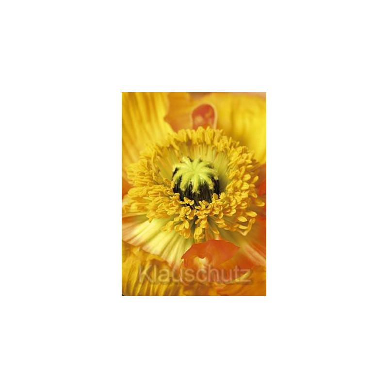 Mohn Nahaufnahme | Blumenkarten Postkarten