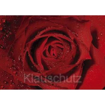 Postkartenparadies Postkarte Blumenkarte Rose Nahaufnahme