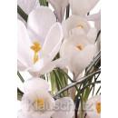 Krokusse - Blumen Postkarten
