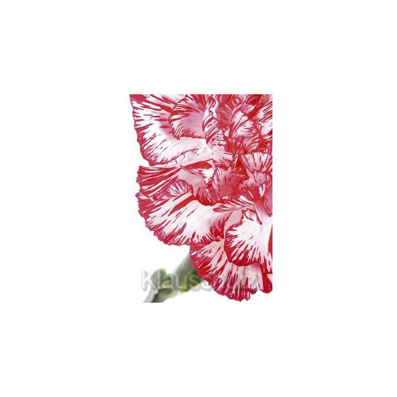 Nelke rot / weiß Nahaufnahme | Postkarte Blumenkarte vom Postkartenparadies