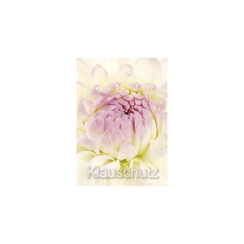 Blume - Dahlie weiß | Postkarten Blumenkarten