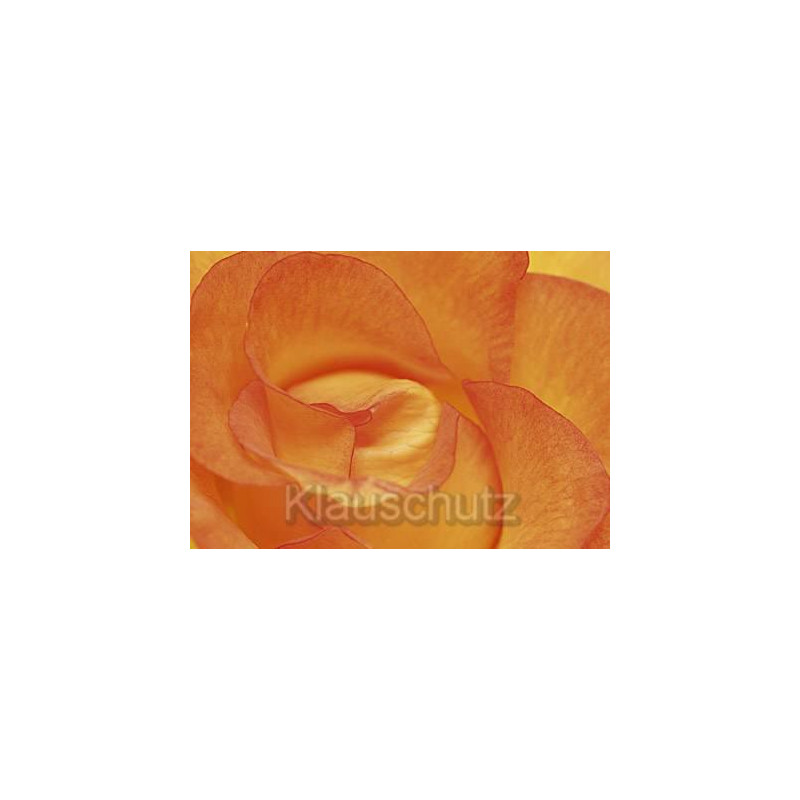 Postkarte Blumen | Rose orange