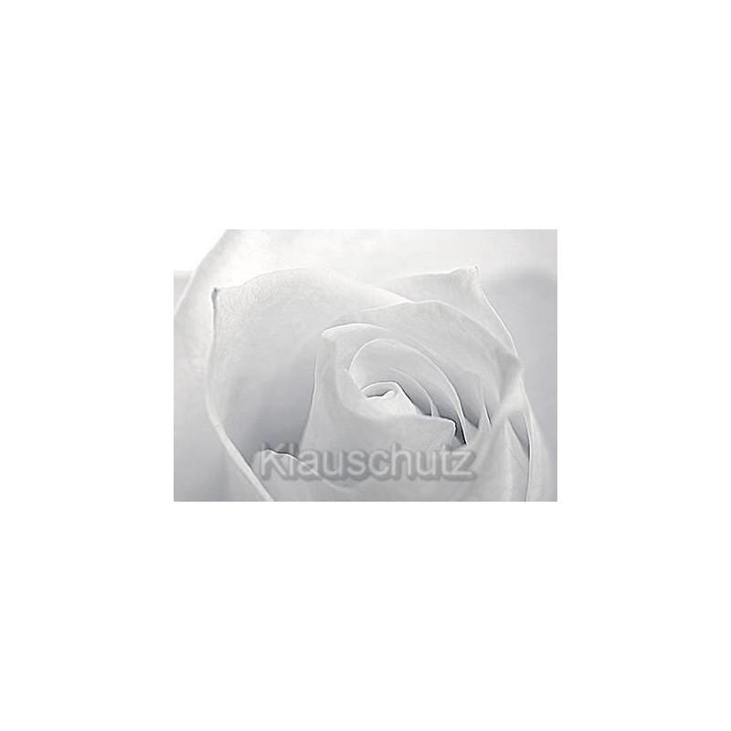 Weiße Rose - Blumenkarten Postkarten