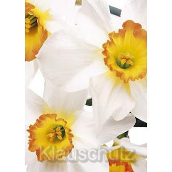 Postkartenparadies Blumen Postkarten - Narzissen