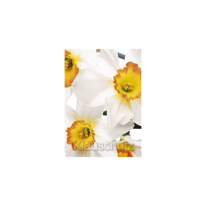 Blumen Postkarten Narzissen