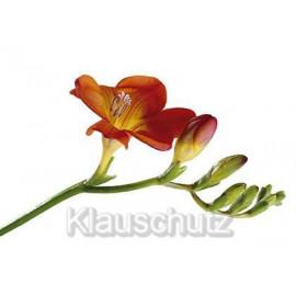Blumen Postkarten - Fresie