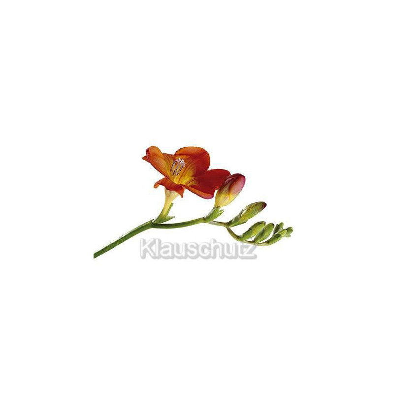 Postkartenparadies Blumen Postkarten - Fresie