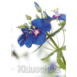 Anagallis Monelli blaue Blüte - Postkarte Blumenkarte