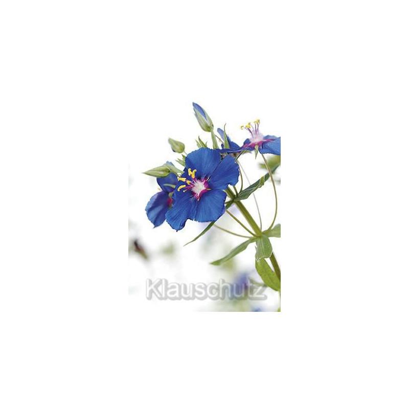 Anagallis Monelli blaue Blüte - Postkarte Blumenkarte vom Postkartenparadies