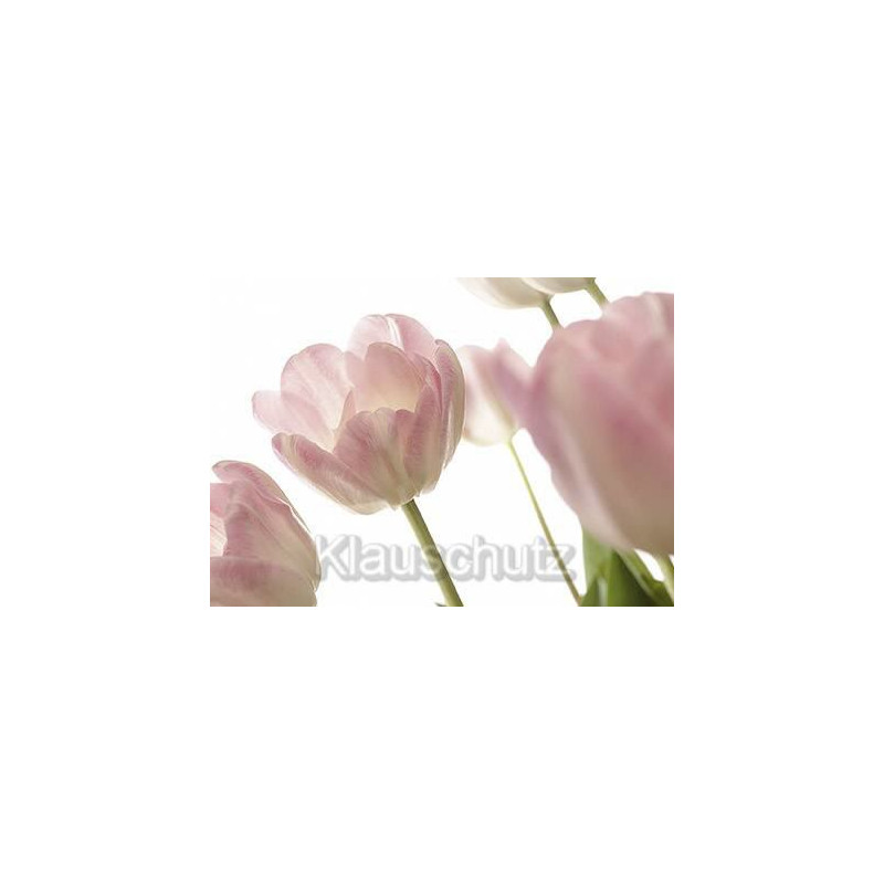 Blumen Postkarten vom Postkartenparadies - Tulpen rosa