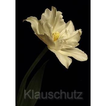 Blumen Postkarte | Weiße Tulpe vor schwarzem Hintergrund