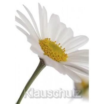 Margerite weiß-gelbe Blüte | Postkarten Blumenkarten vom Postkartenparadies