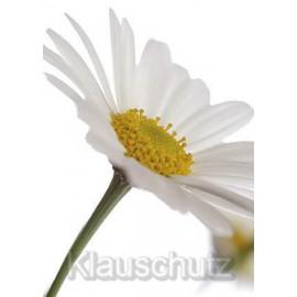 Margerite weiß-gelbe Blüte | Postkarten Blumenkarten