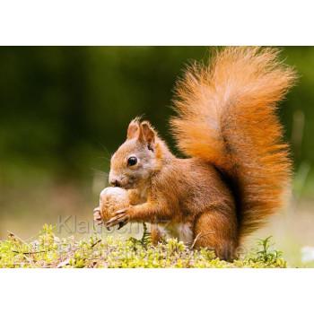 Postkartenparadies Tier Fotokarte Postkarte: Eichhörnchen mit großer Nuss