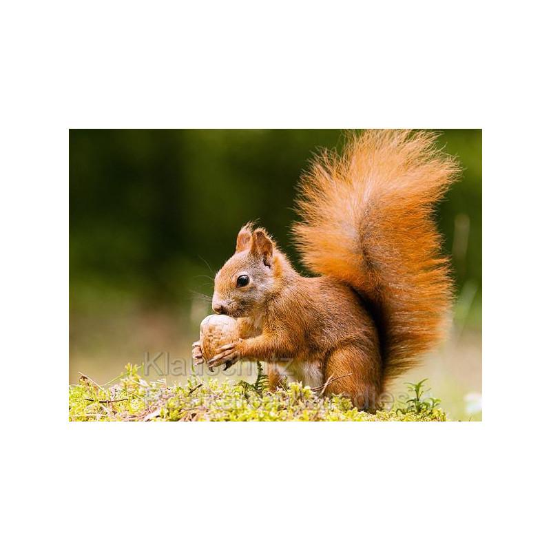 Tier Fotokarte Postkarte: Eichhörnchen mit großer Nuss