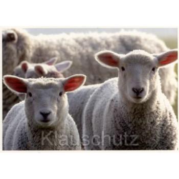 Neugierige Lämmer / Schafe - Foto Postkarte und Osterkarte von Rannenberg