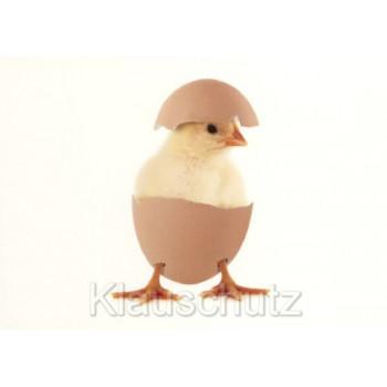 Osterkarte - Junges Küken im Ei - Ostergruß Postkarte
