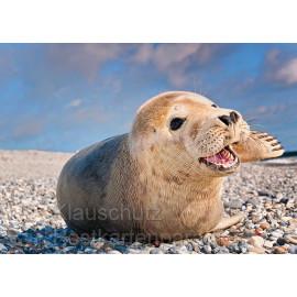 Glückliche Robbe - Foto Postkarte