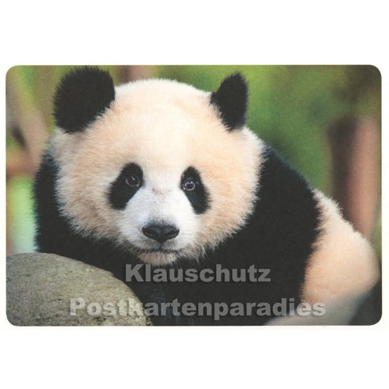 Panda Bär - Tier Postkarte
