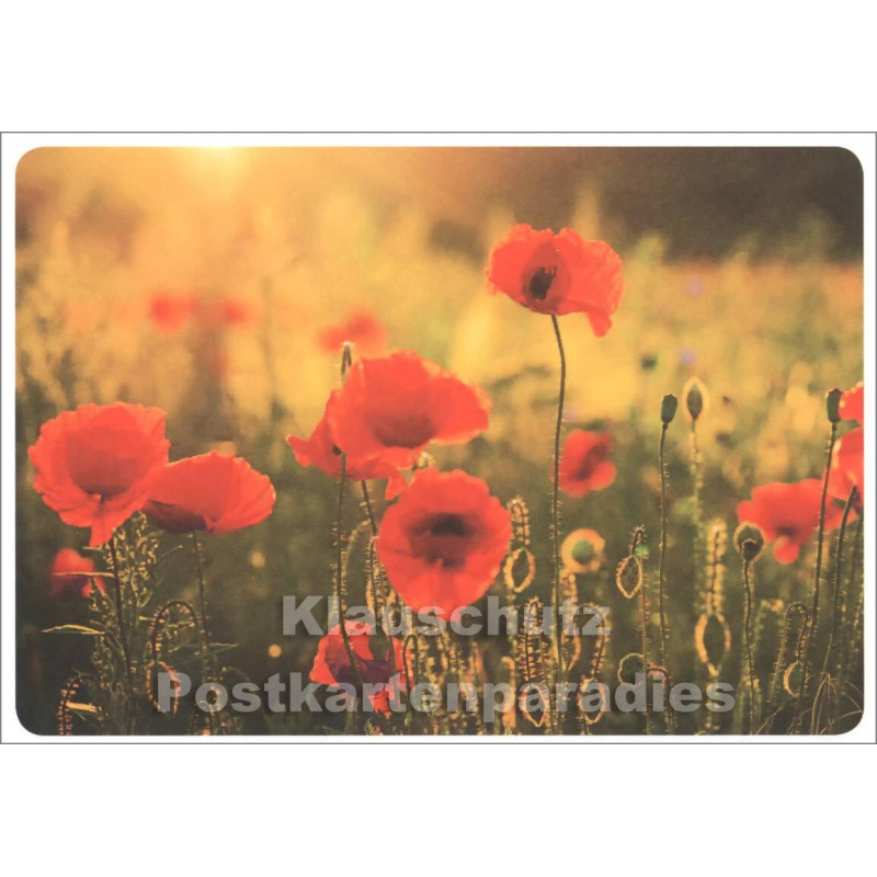 Mohnfeld - Blumen Postkarte von SkoKo
