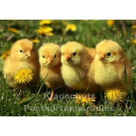 Süße Entenküken - Foto Postkarte zu Ostern vom Postkartenparadies