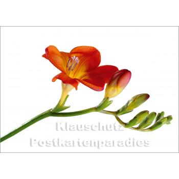 Blumen Postkarten Sparset - Motiv: Fresie