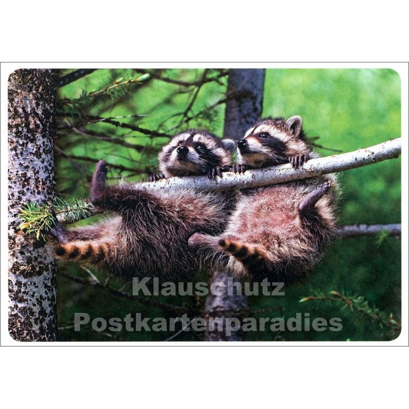Waschbären - lustige Tier Postkarte