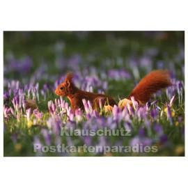 Rannenberg Blumen Postkarte | Eichhörnchen auf Krokuswiese