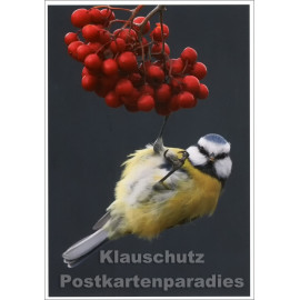 Fotokarte - Blaumeise an Vogelbeeren