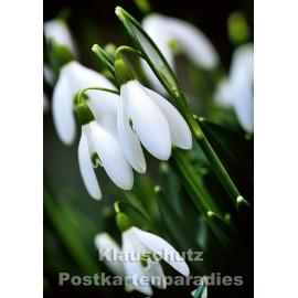 Schneeglöckchen - Blumen Postkarte vom Postkartenparadies