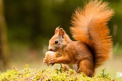 Postkarte Eichörnchen